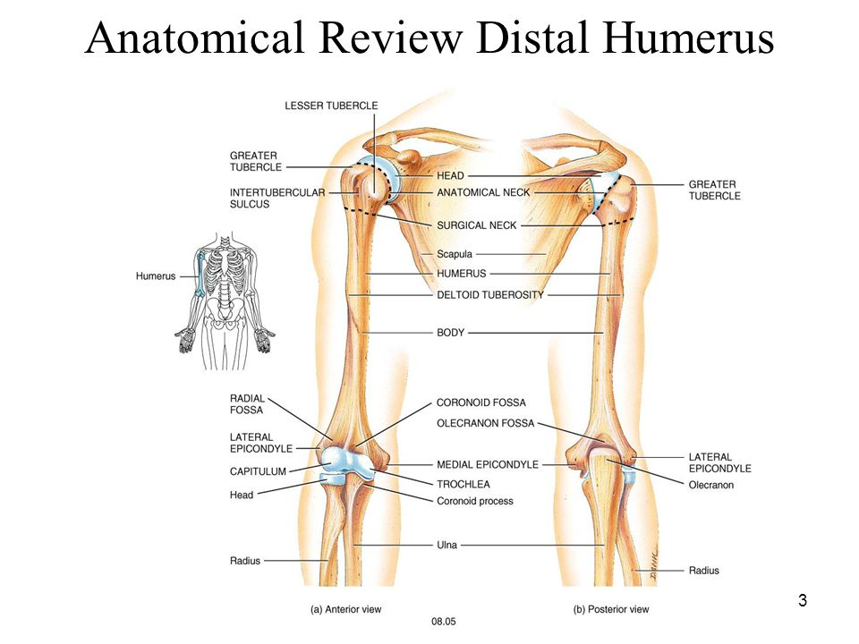 Anatomical Review Distal Humerus