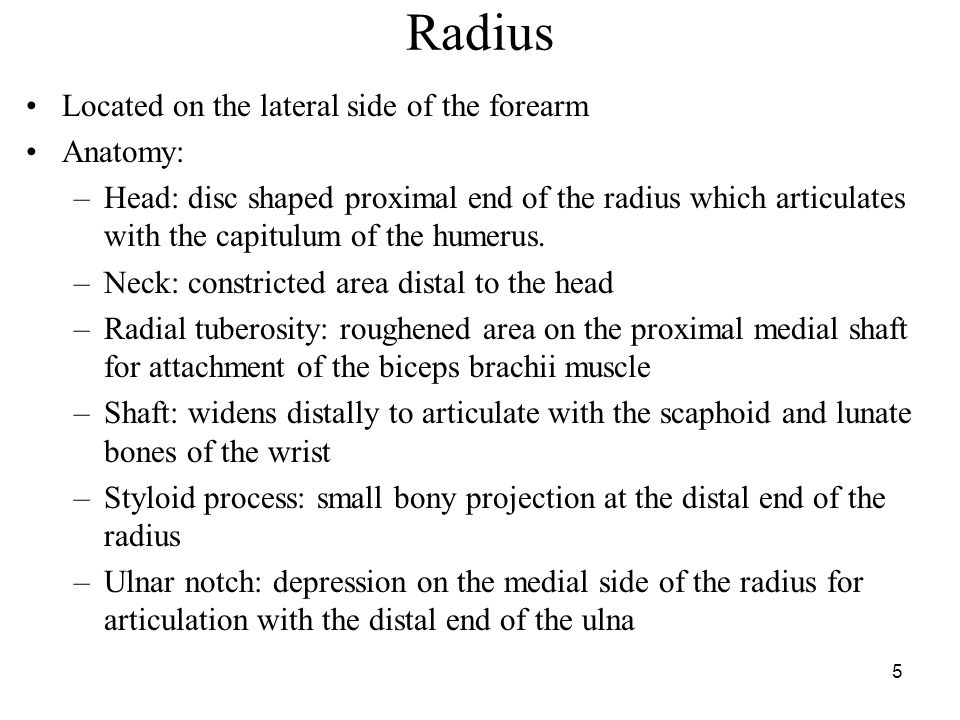 Radius Located on the lateral side of the forearm Anatomy: