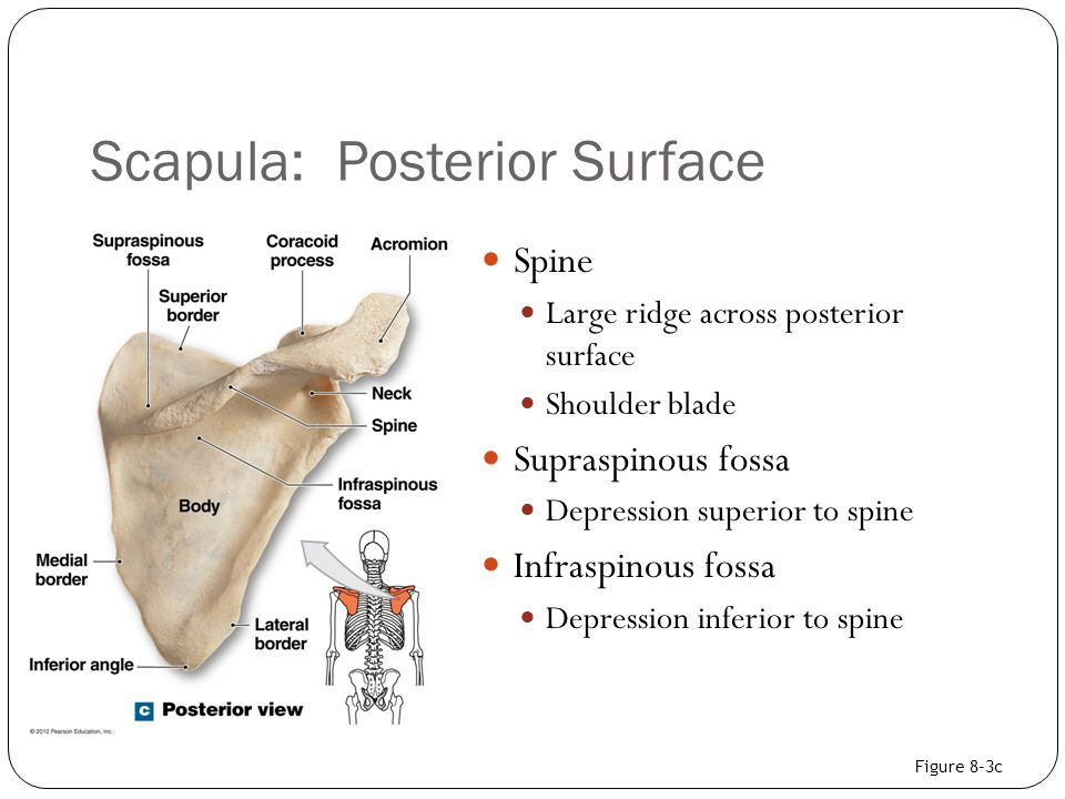 Scapula: Posterior Surface
