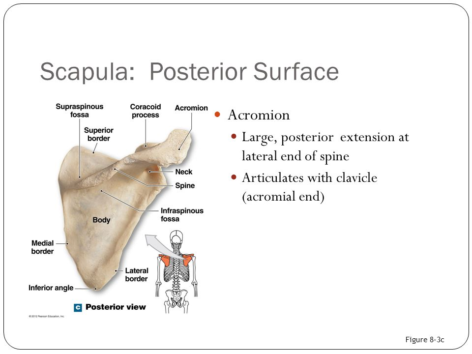 Chapter 8: The Appendicular Skeleton - ppt video online ...