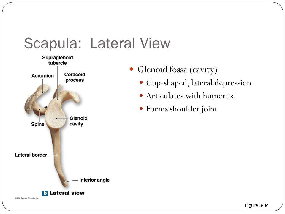 Scapula: Lateral View Glenoid fossa (cavity)