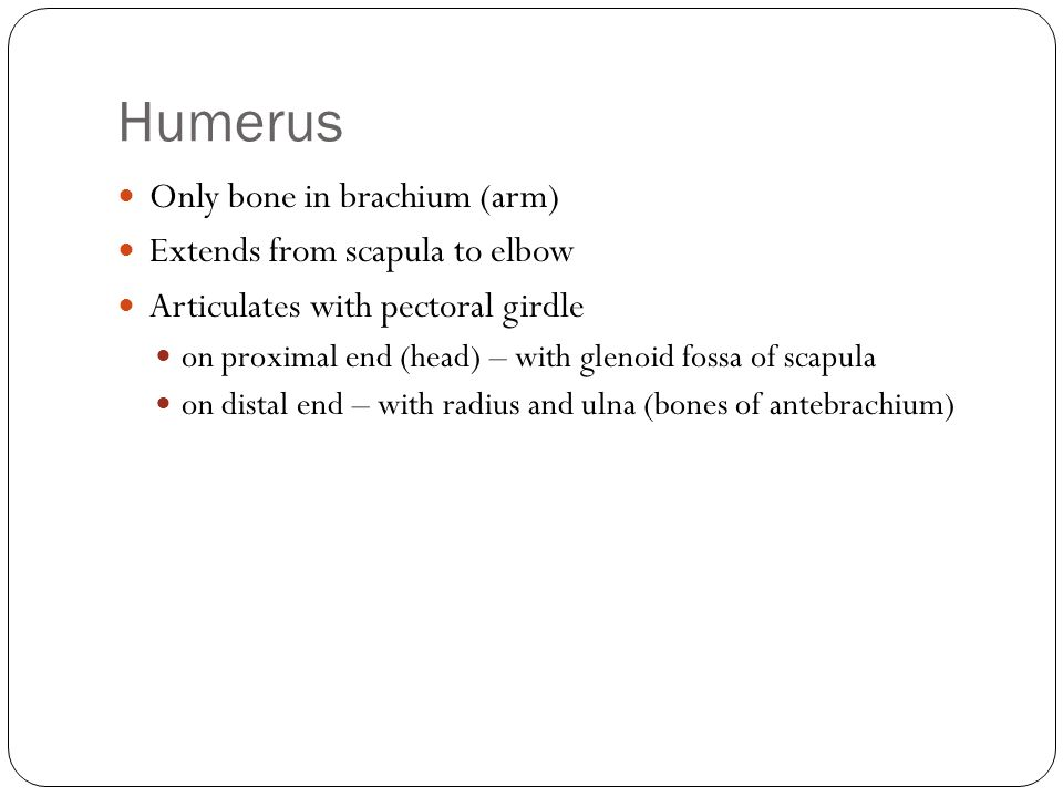 Humerus Only bone in brachium (arm) Extends from scapula to elbow
