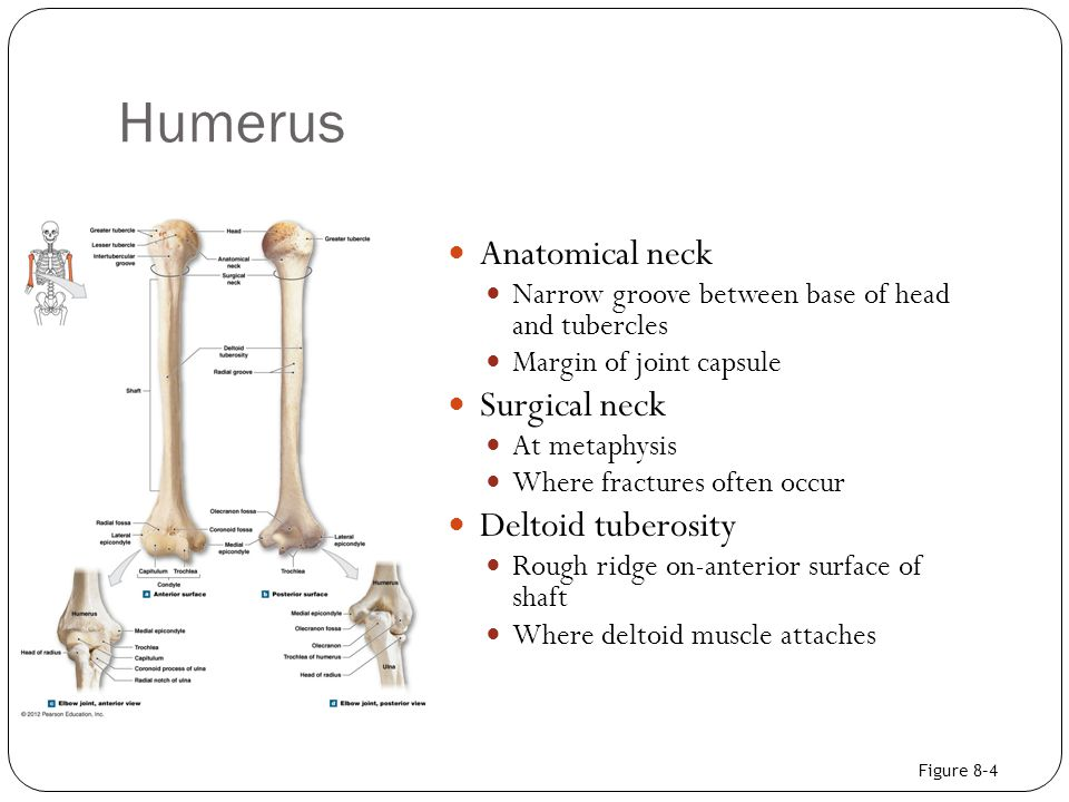 Humerus Anatomical neck Surgical neck Deltoid tuberosity