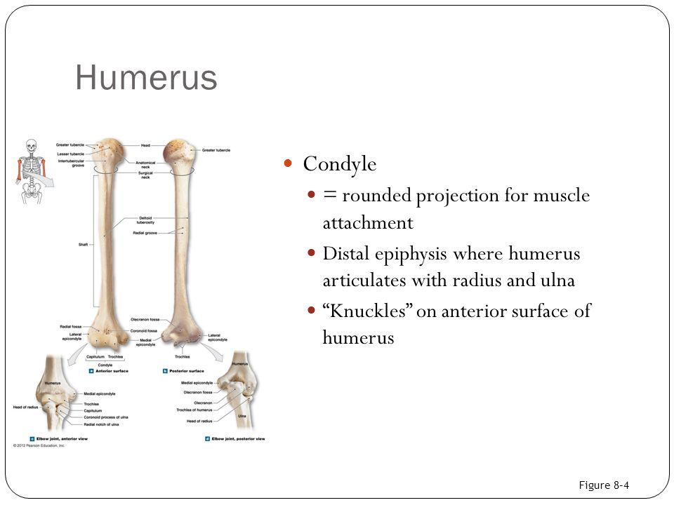 Humerus Condyle = rounded projection for muscle attachment