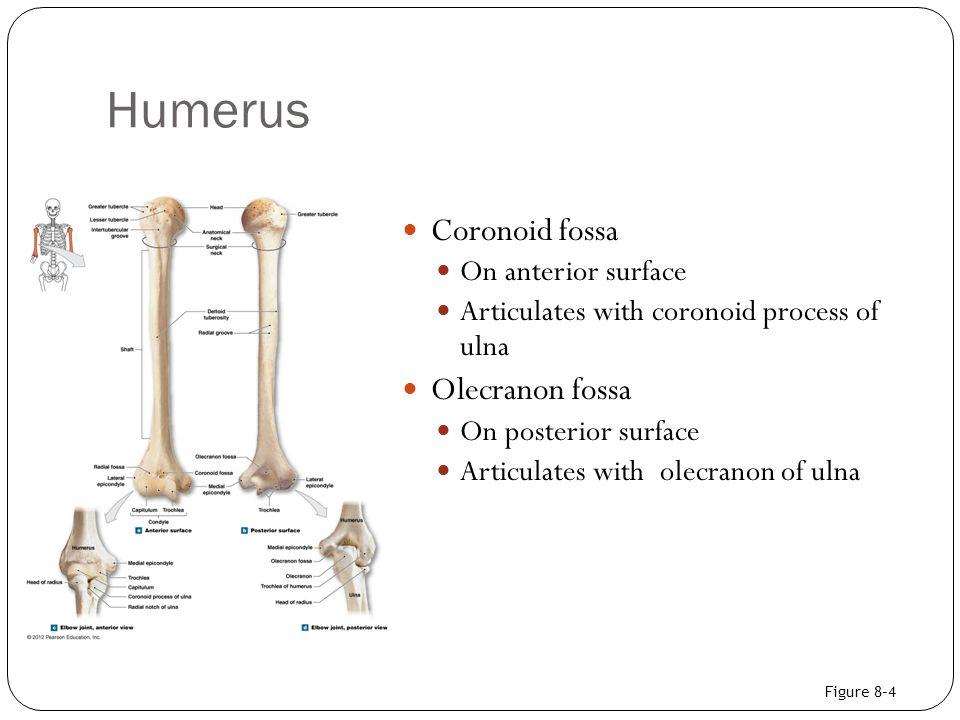 Humerus Coronoid fossa Olecranon fossa On anterior surface