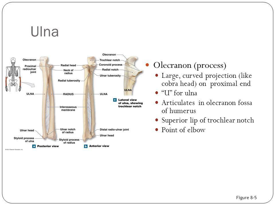 Ulna Olecranon (process)