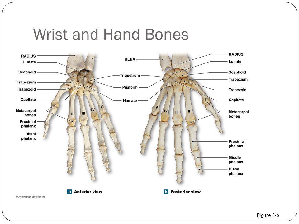 Wrist and Hand Bones Figure 8–6