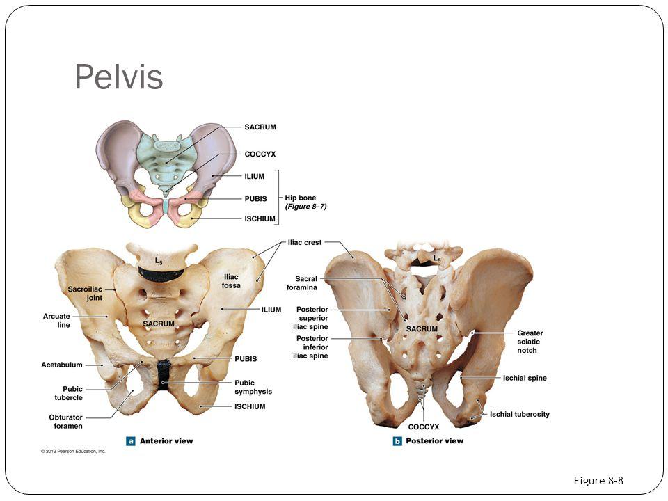 Pelvis Figure 8–8