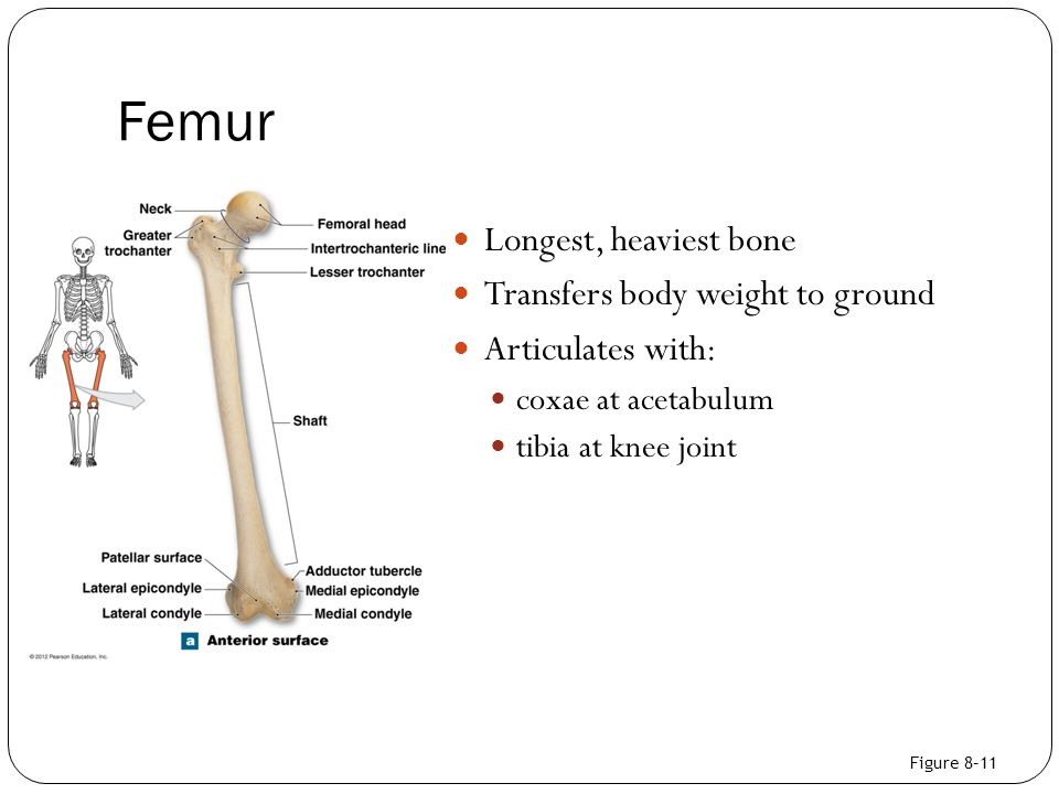 Femur Longest, heaviest bone Transfers body weight to ground