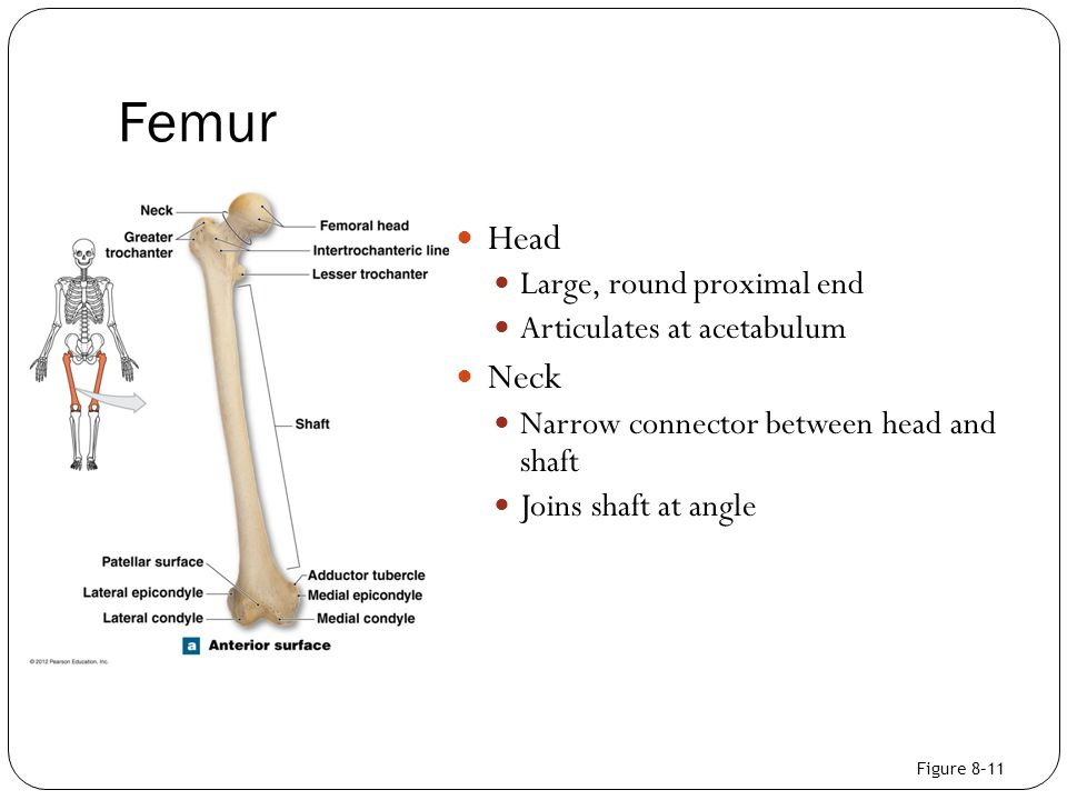 Femur Head Neck Large, round proximal end Articulates at acetabulum