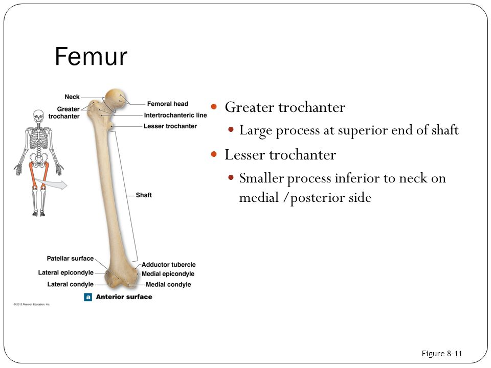 Femur Greater trochanter Lesser trochanter