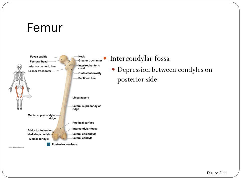 Femur Intercondylar fossa