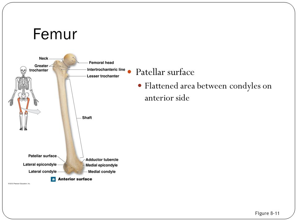 Femur Patellar surface