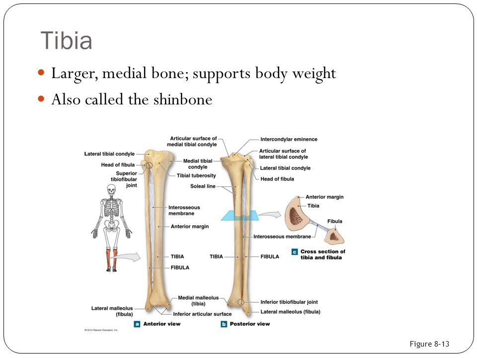 Tibia Larger, medial bone; supports body weight