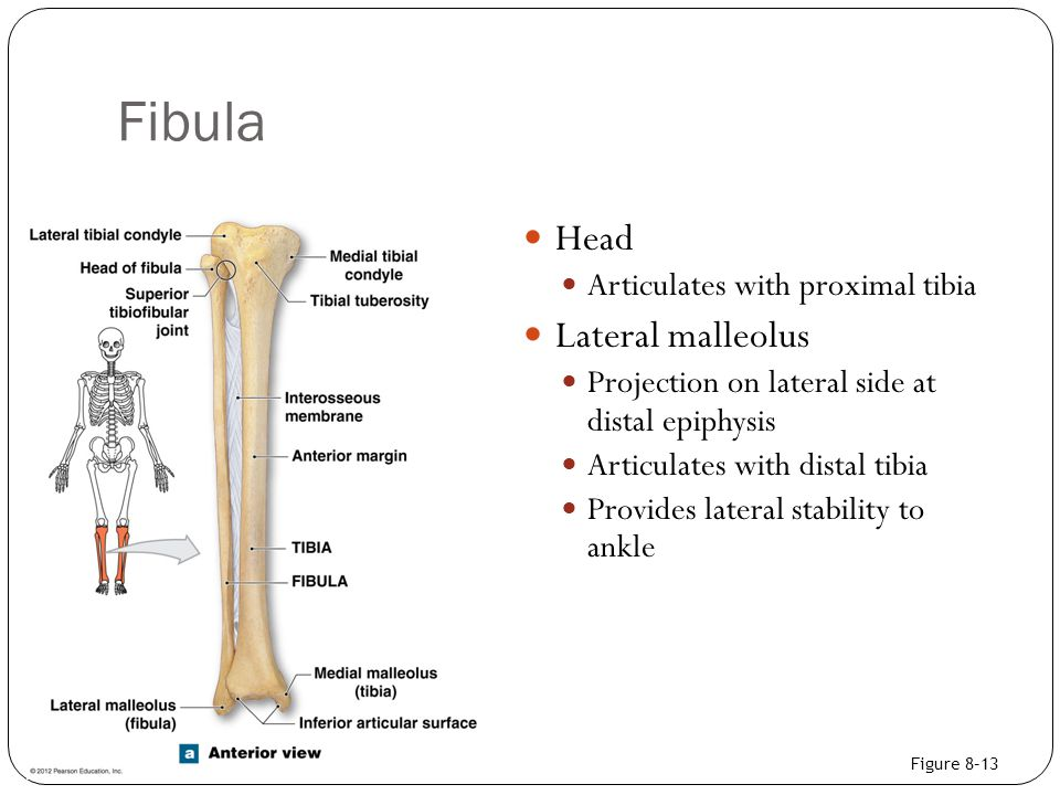 Fibula Head Lateral malleolus Articulates with proximal tibia