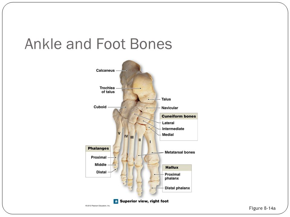Ankle and Foot Bones Figure 8–14a