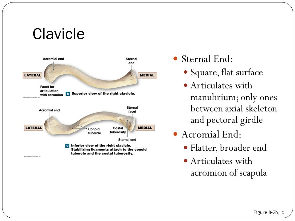 Clavicle Sternal End: Acromial End: Square, flat surface