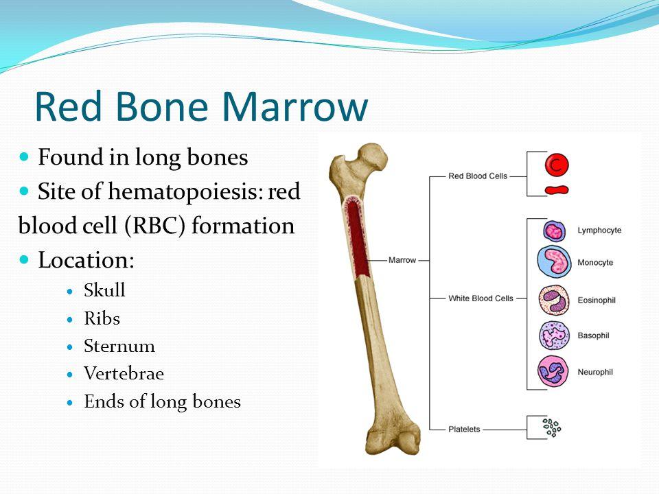 Red Bone Marrow Found in long bones Site of hematopoiesis: red