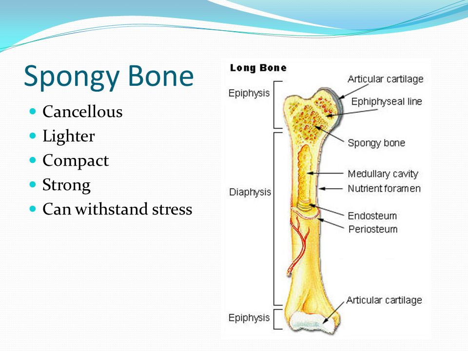 Spongy Bone Cancellous Lighter Compact Strong Can withstand stress