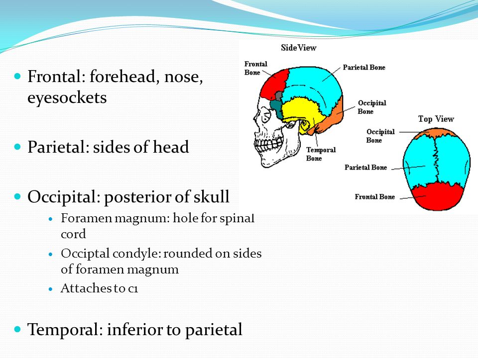 Frontal: forehead, nose, eyesockets