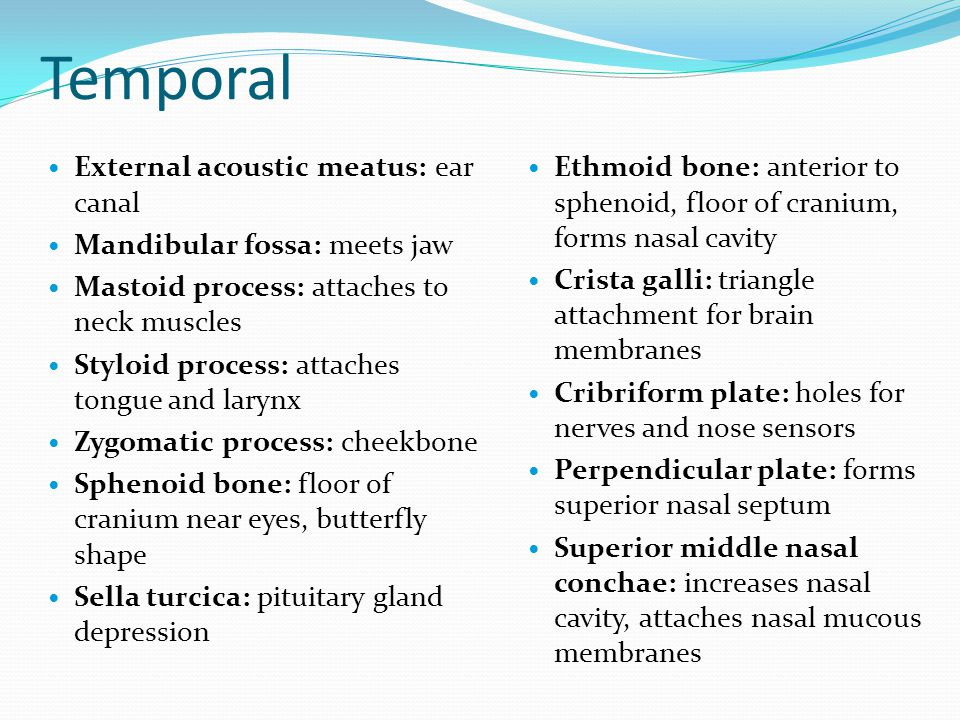Temporal External acoustic meatus: ear canal