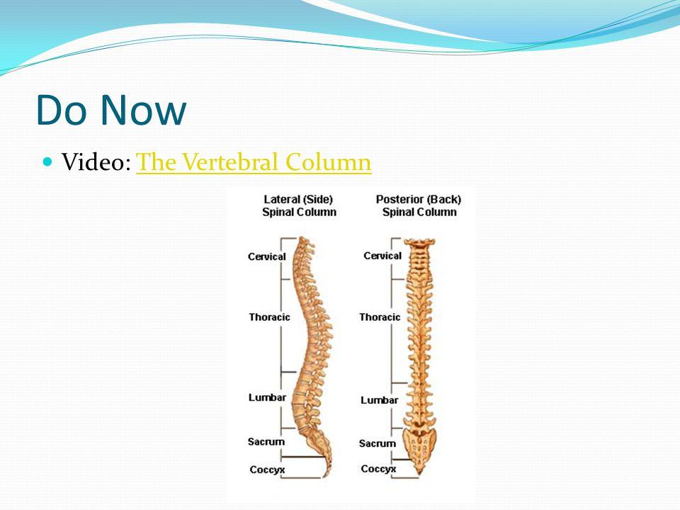 Do Now Video: The Vertebral Column