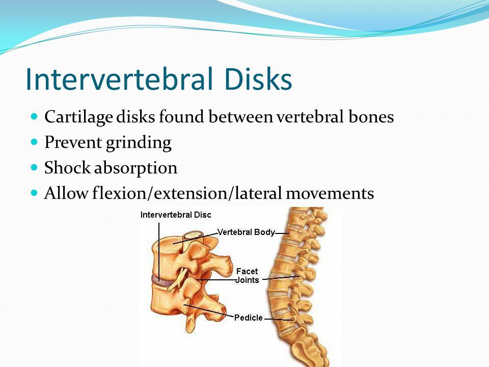 Intervertebral Disks Cartilage disks found between vertebral bones
