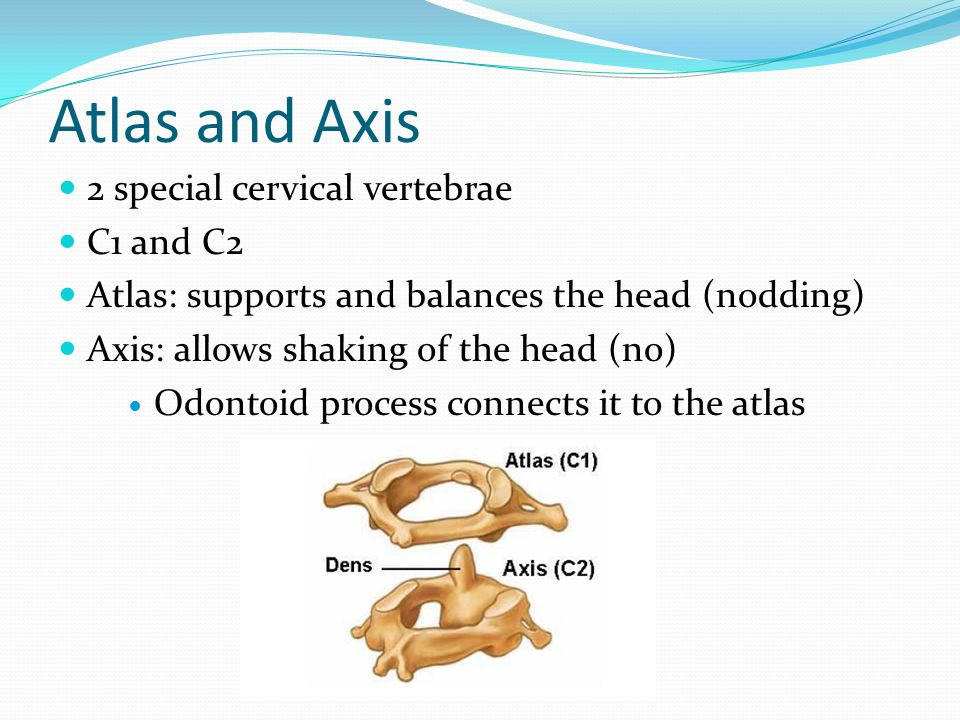 Atlas and Axis 2 special cervical vertebrae C1 and C2