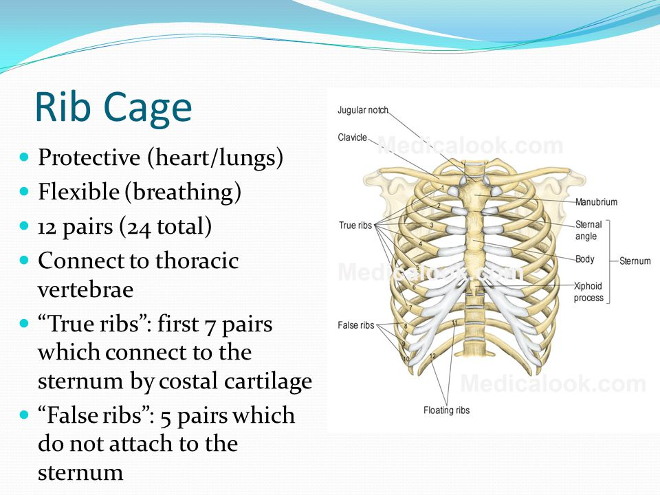 Rib Cage Protective (heart/lungs) Flexible (breathing)