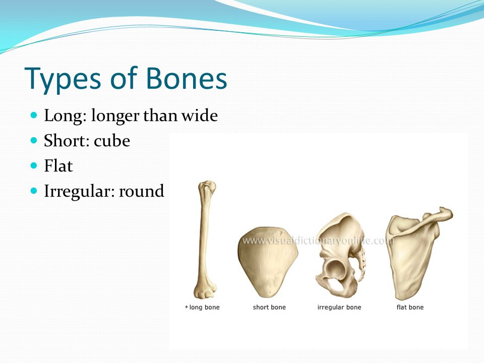 Types of Bones Long: longer than wide Short: cube Flat