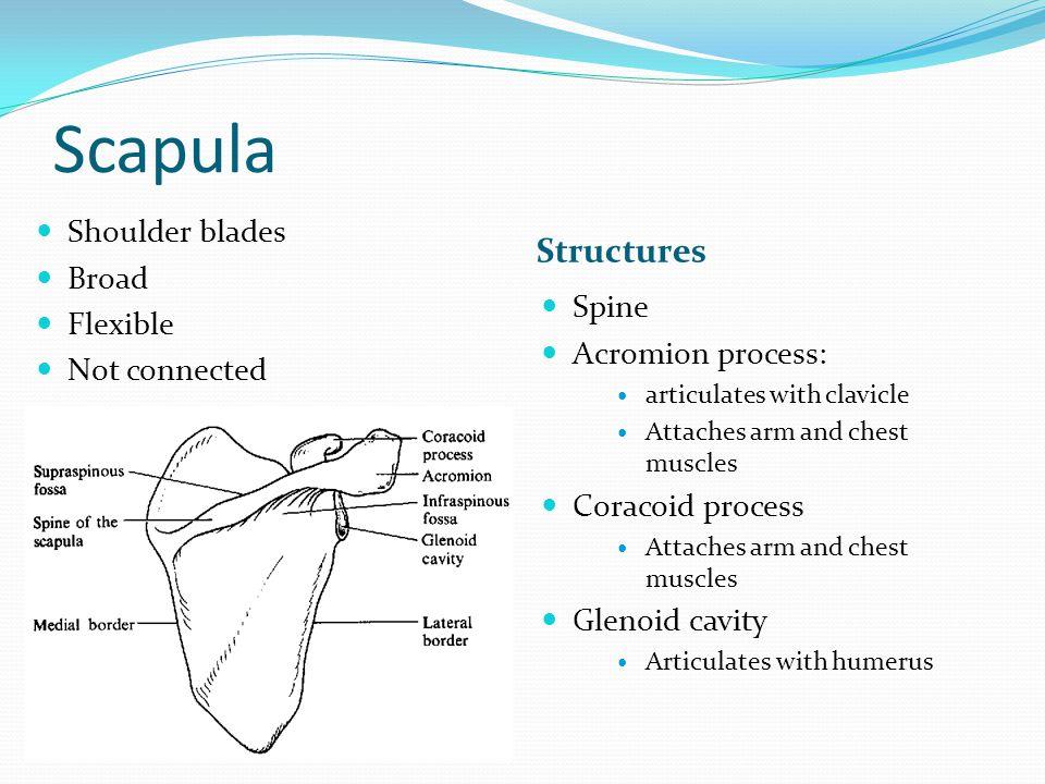 Scapula Structures Shoulder blades Broad Flexible Not connected Spine