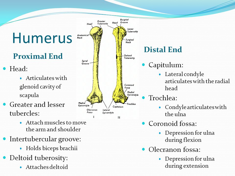 Humerus Distal End Proximal End Capitulum: Head: Trochlea:
