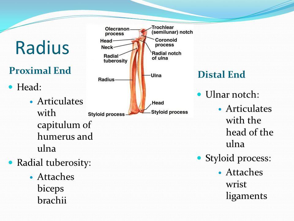 Radius Proximal End Distal End Head:
