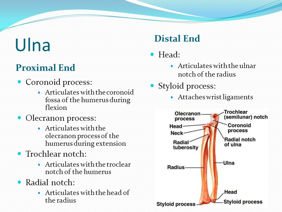 Ulna Distal End Proximal End Head: Styloid process: Coronoid process:
