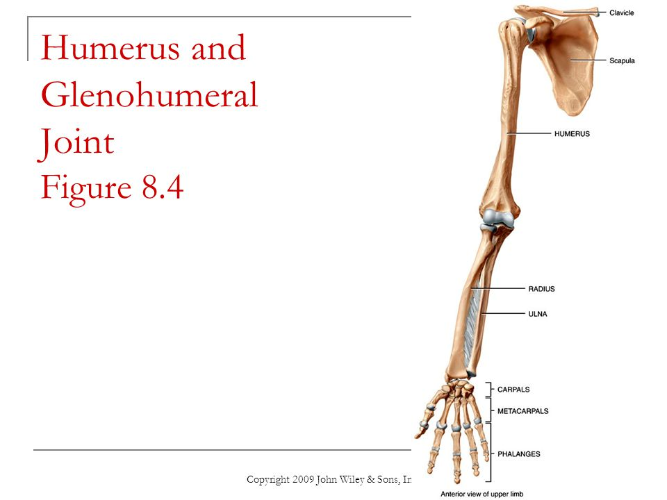 Humerus and Glenohumeral Joint Figure 8.4