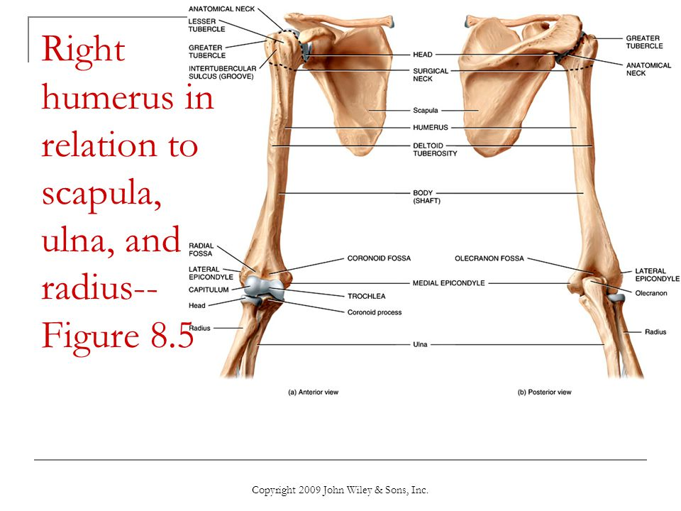 Right humerus in relation to scapula, ulna, and radius-- Figure 8.5
