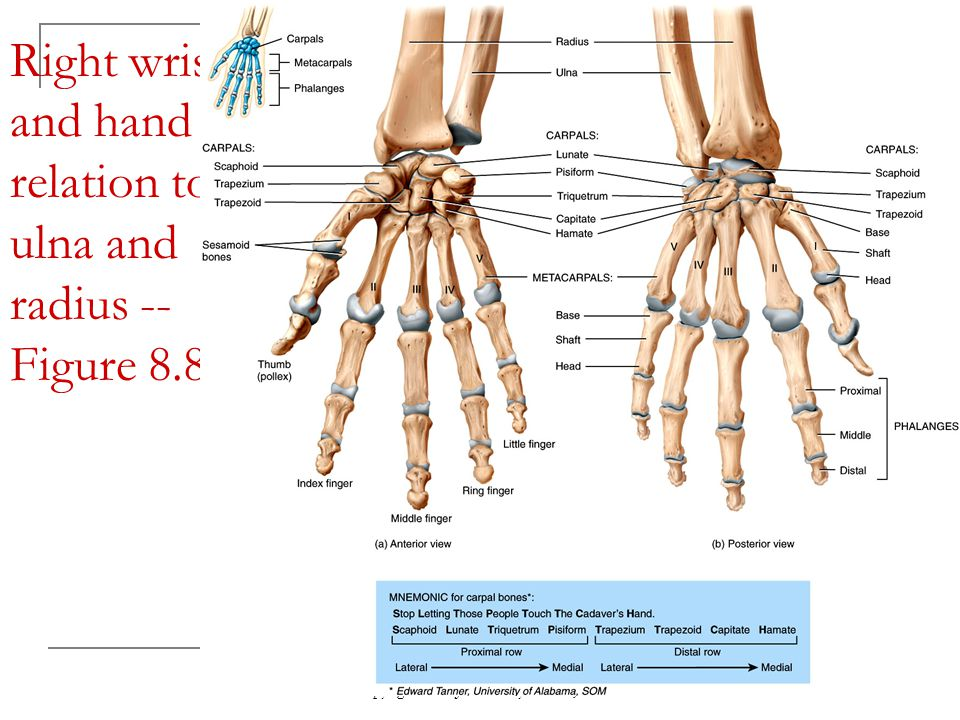 Right wrist and hand in relation to ulna and radius -- Figure 8.8