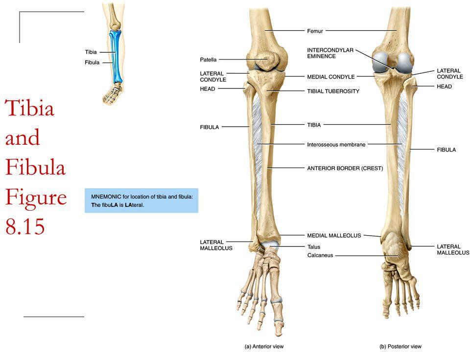 Tibia and Fibula Figure 8.15