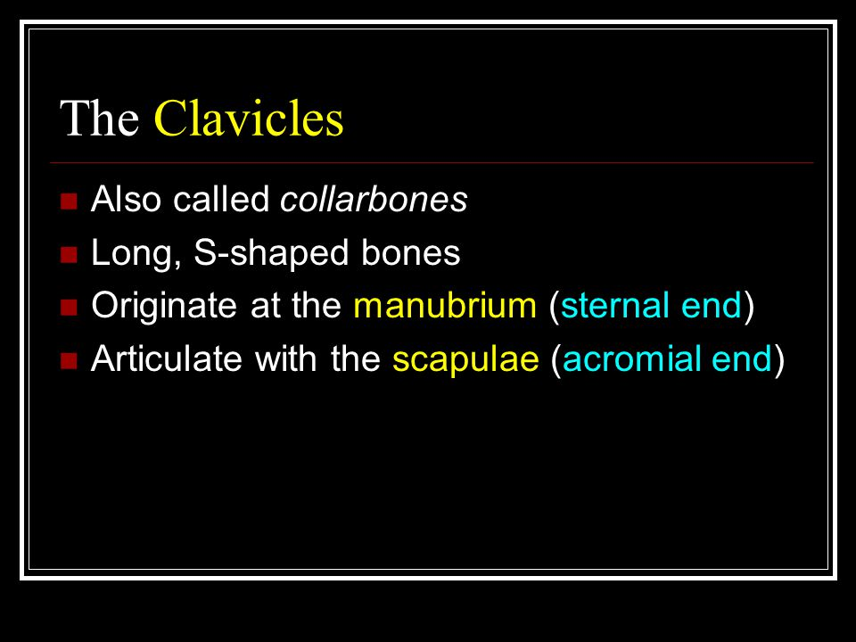 The Clavicles Also called collarbones Long, S-shaped bones