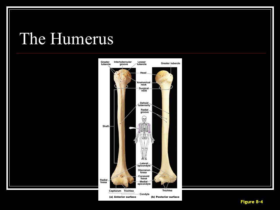 The Humerus Figure 8–4