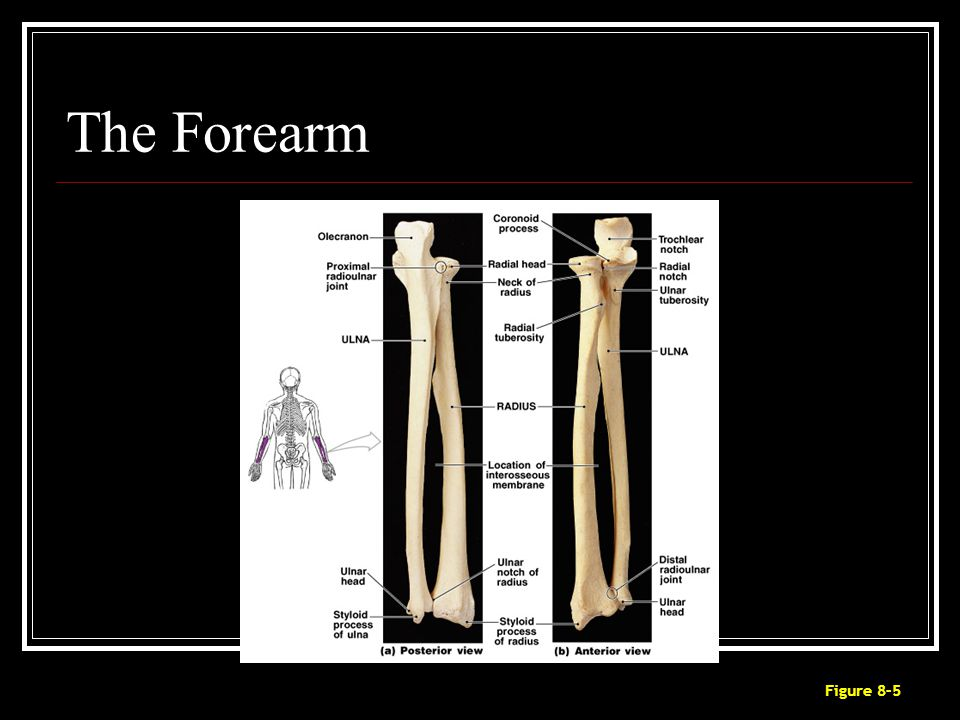 The Forearm Figure 8–5