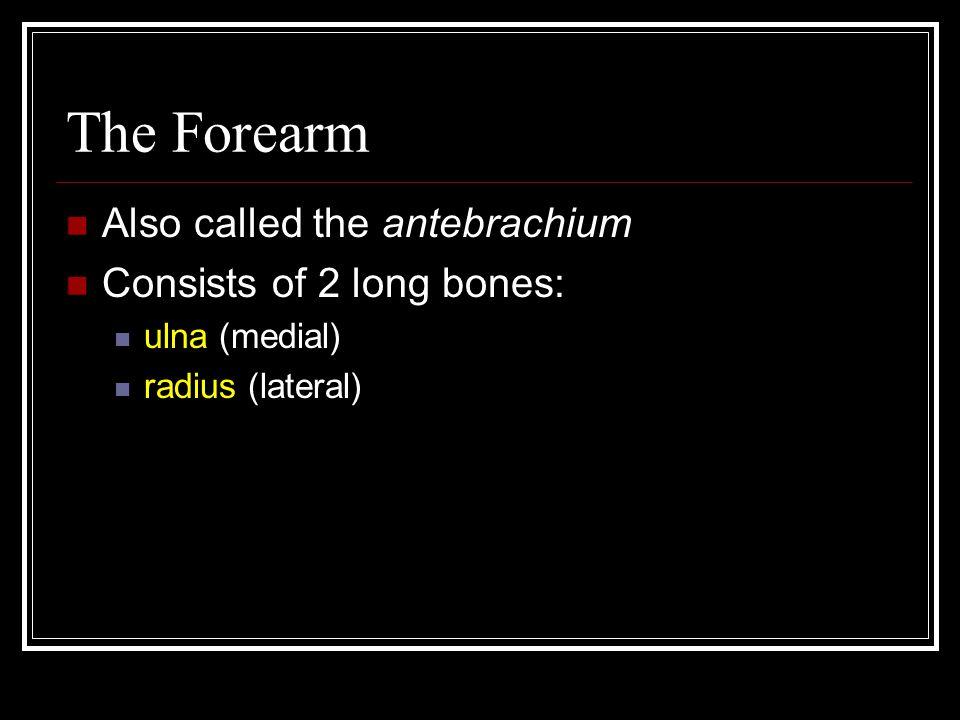 The Forearm Also called the antebrachium Consists of 2 long bones: