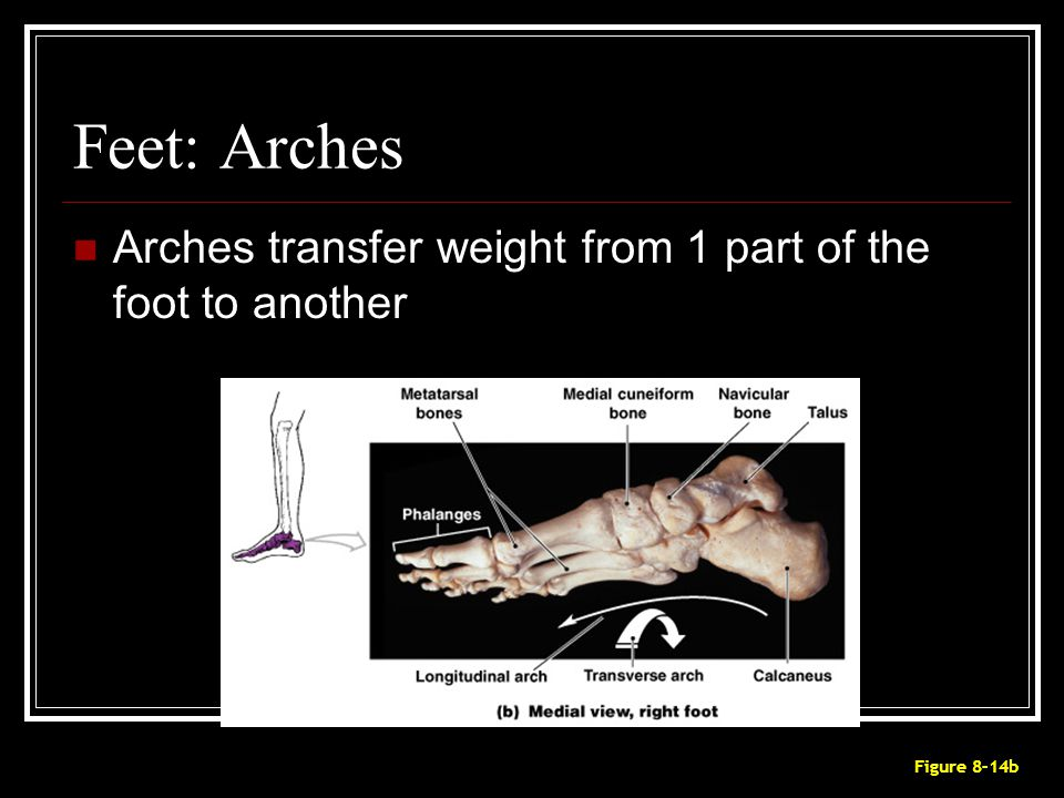 Feet: Arches Arches transfer weight from 1 part of the foot to another