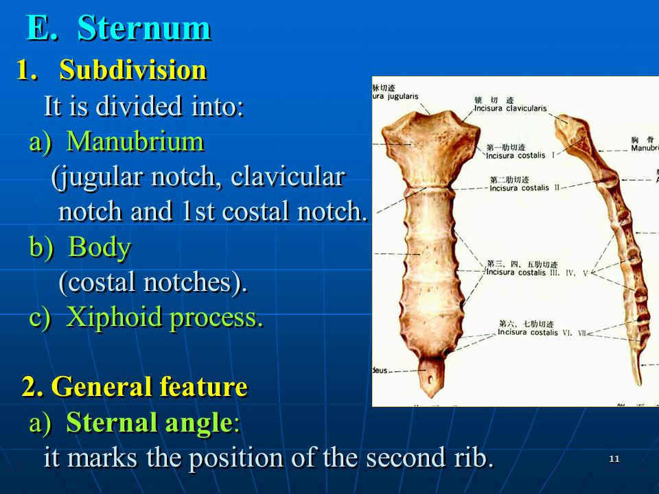 E. Sternum 1. Subdivision It is divided into: a) Manubrium (jugular notch, clavicular notch and 1st costal notch.