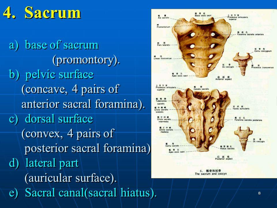 4. Sacrum a) base of sacrum (promontory)