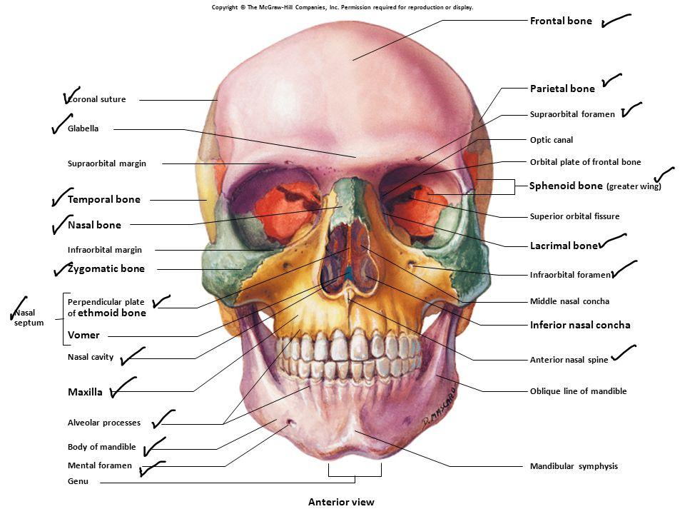Sphenoid bone (greater wing) Temporal bone