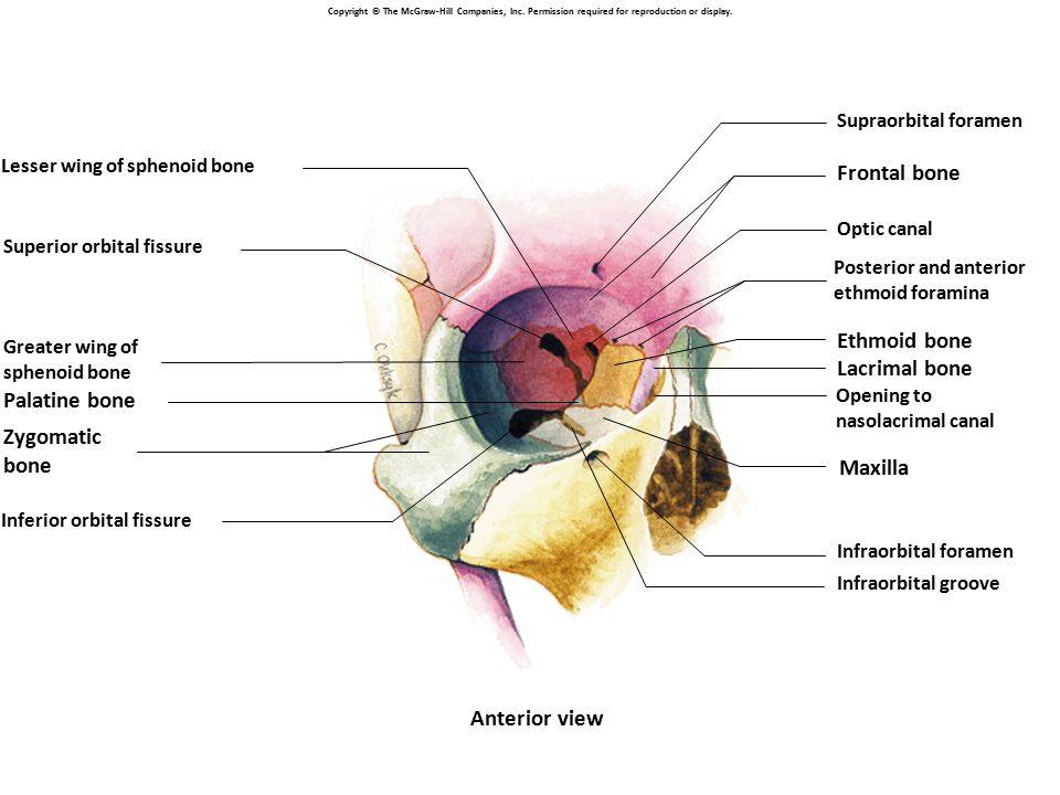 Frontal bone Ethmoid bone Lacrimal bone Palatine bone Zygomatic bone