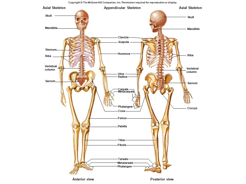 Appendicular Skeleton Axial Skeleton