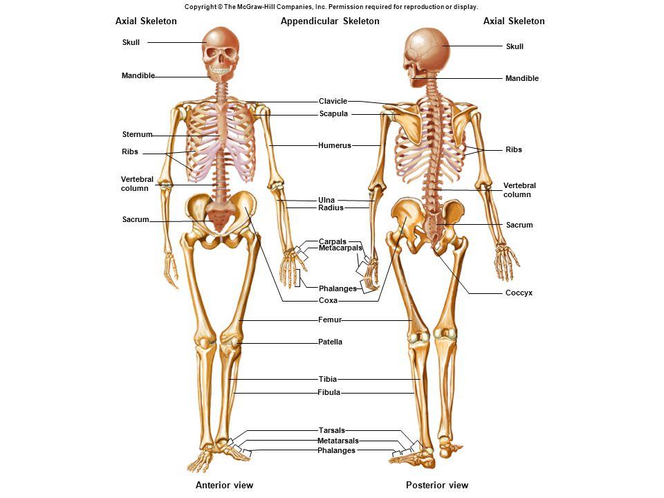 Appendicular Skeleton Axial Skeleton