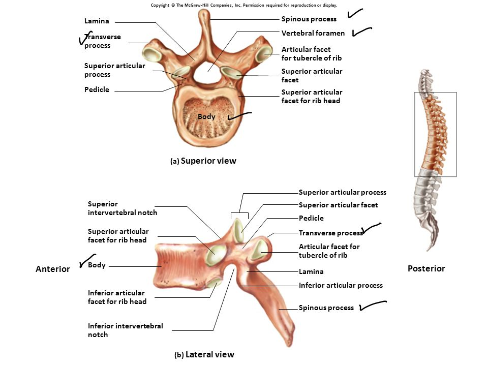 Anterior Posterior Spinous process Lamina Vertebral foramen Transverse